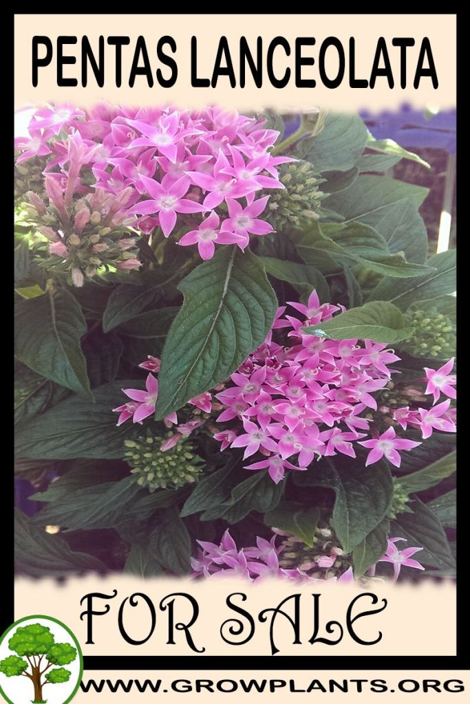 Pentas lanceolata for sale