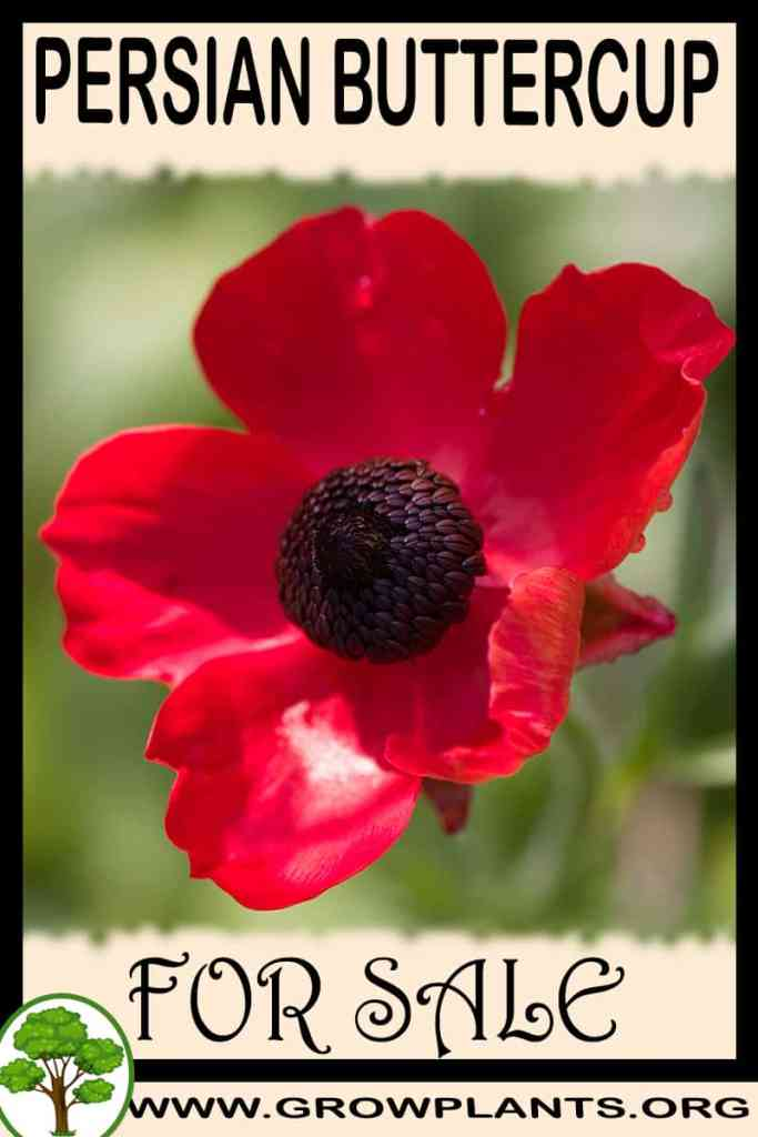 Persian buttercup for sale
