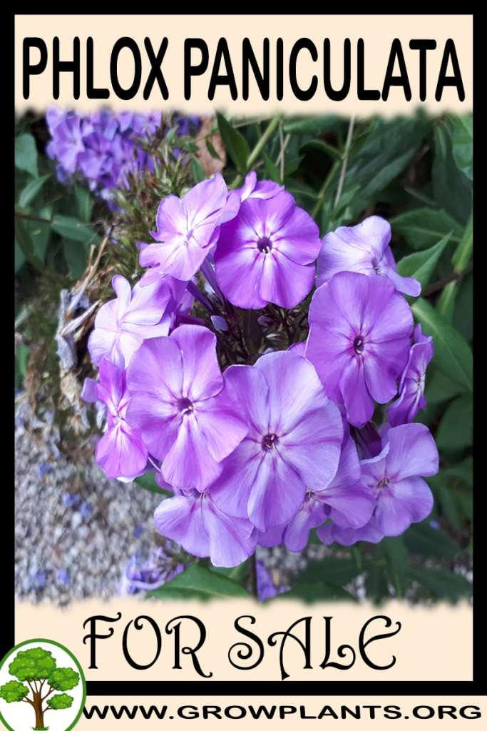 Phlox paniculata for sale
