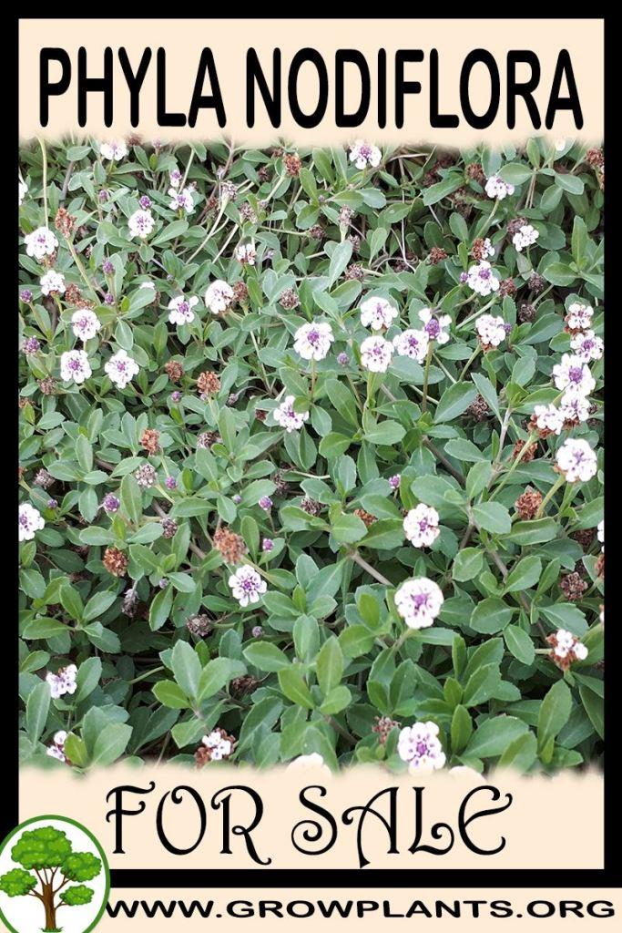 Phyla nodiflora for sale