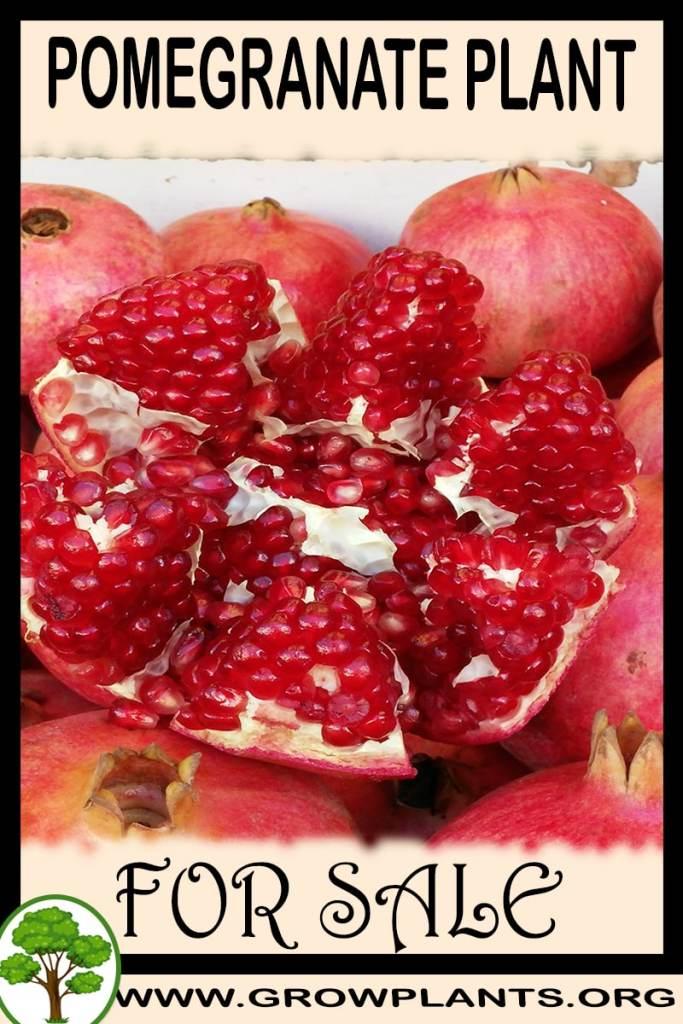 Pomegranate plant for sale