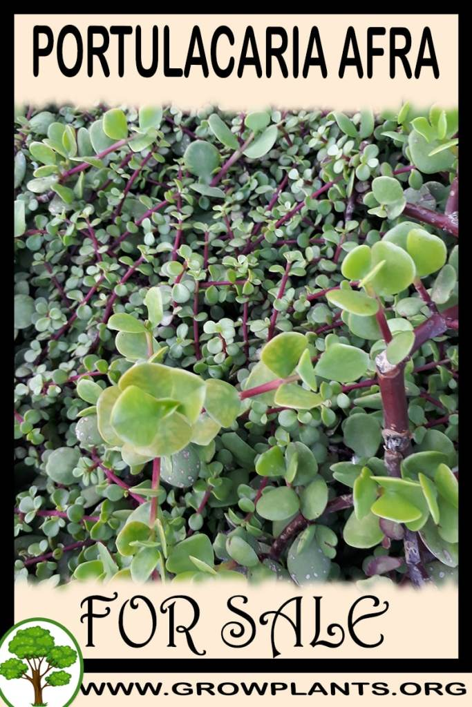 Portulacaria afra for sale