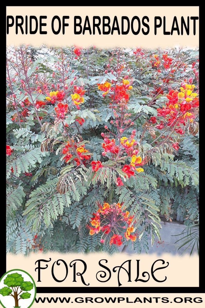 Pride of barbados plant for sale