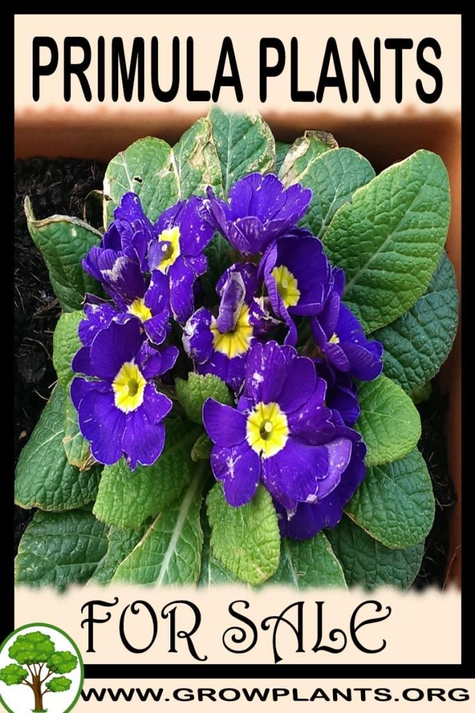 Primula plants for sale