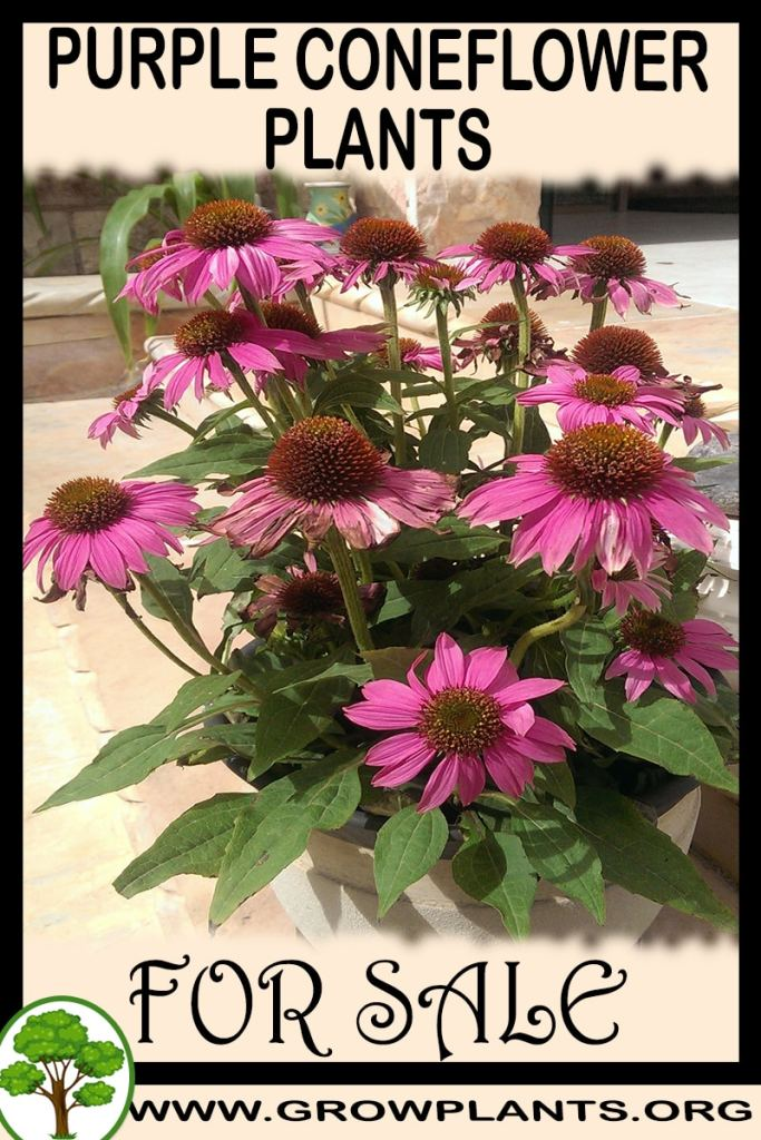 Purple Coneflower plants for sale