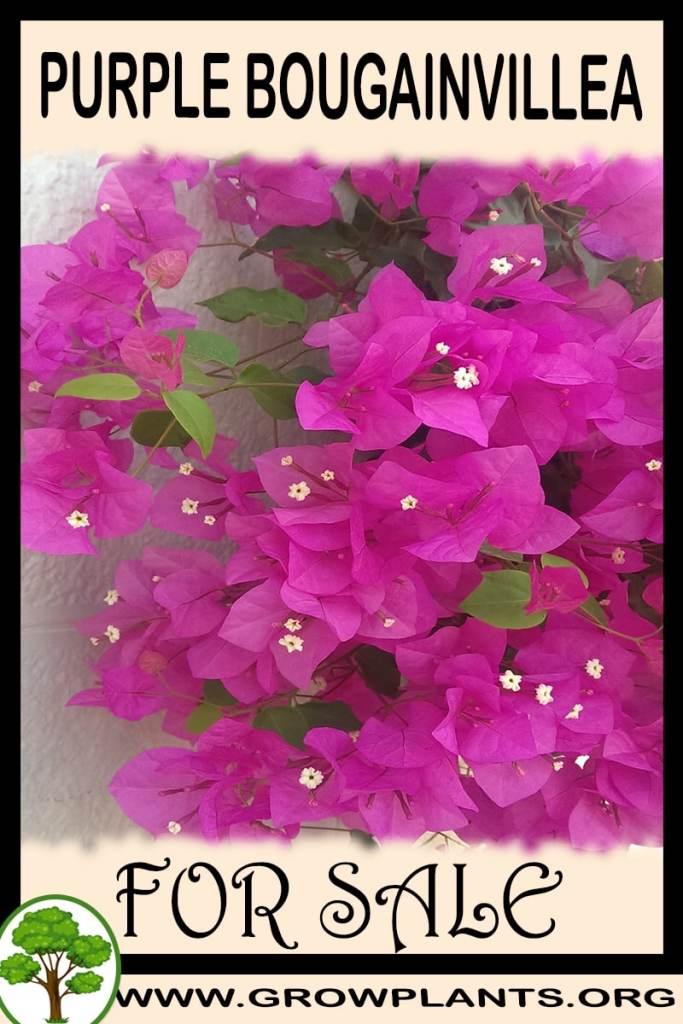 Purple bougainvillea for sale