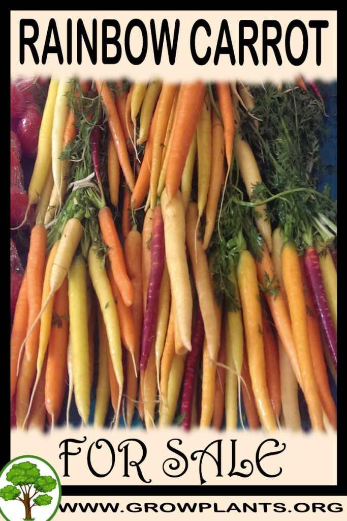 Rainbow carrot for sale