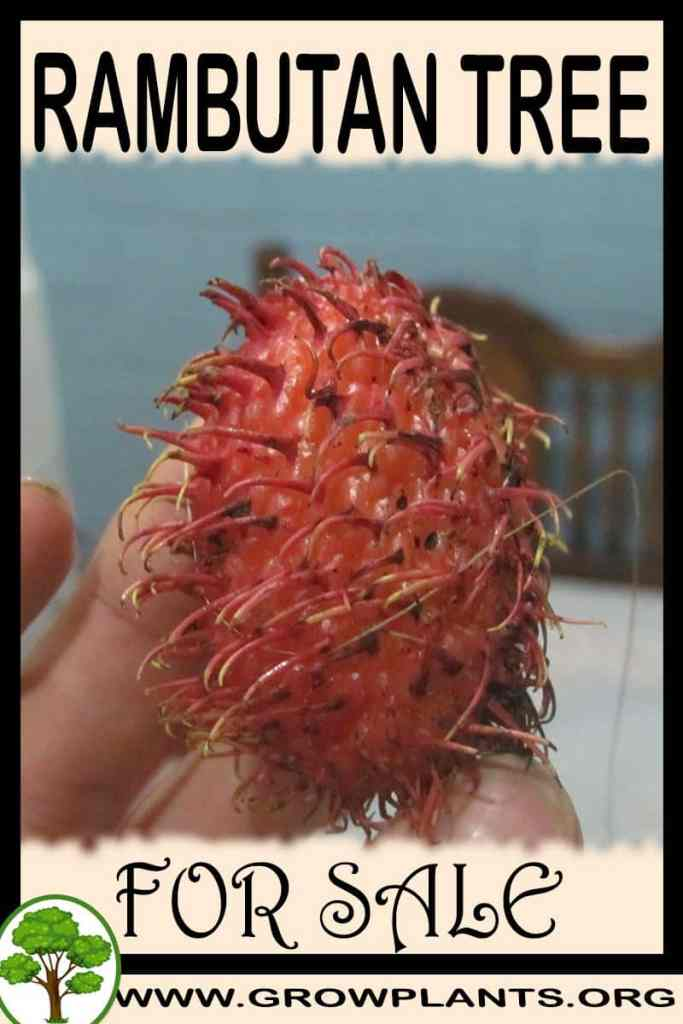 Rambutan tree for sale
