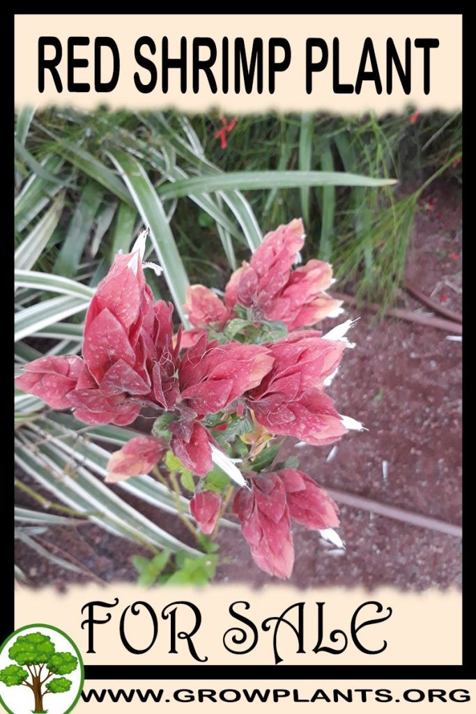 Red shrimp plant for sale