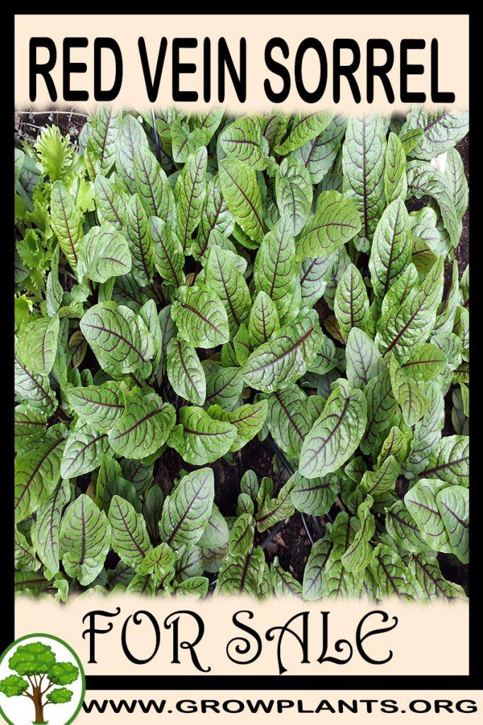 Red vein sorrel for sale