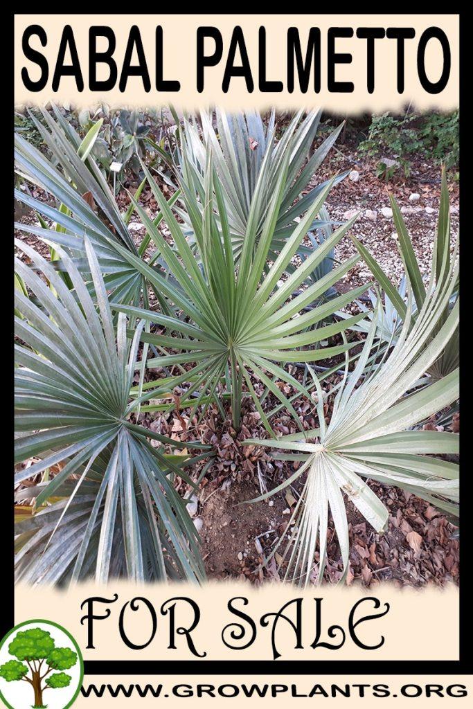 Sabal palmetto for sale