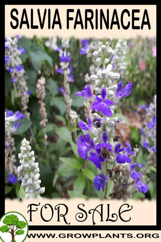 Salvia farinacea for sale