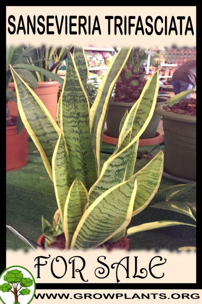 Sansevieria trifasciata for sale