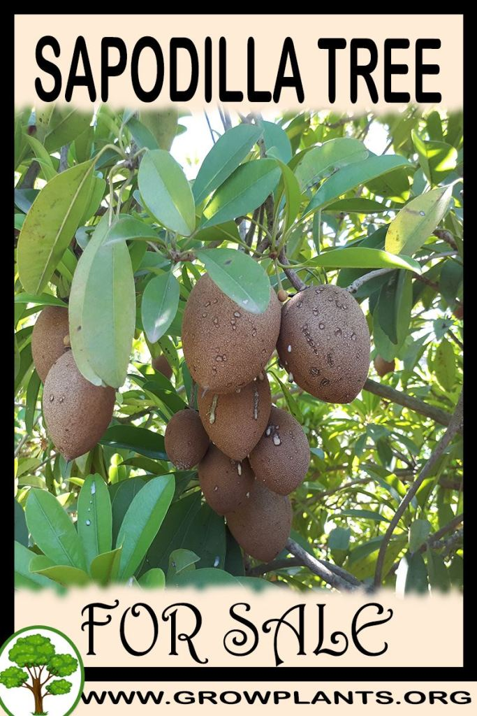 Sapodilla tree for sale