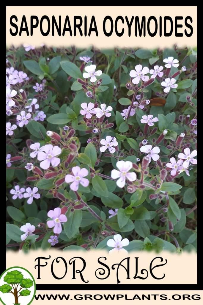 Saponaria ocymoides for sale