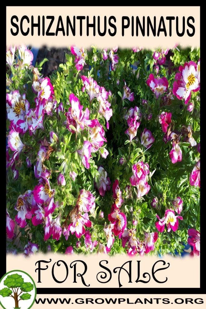 Schizanthus pinnatus for sale