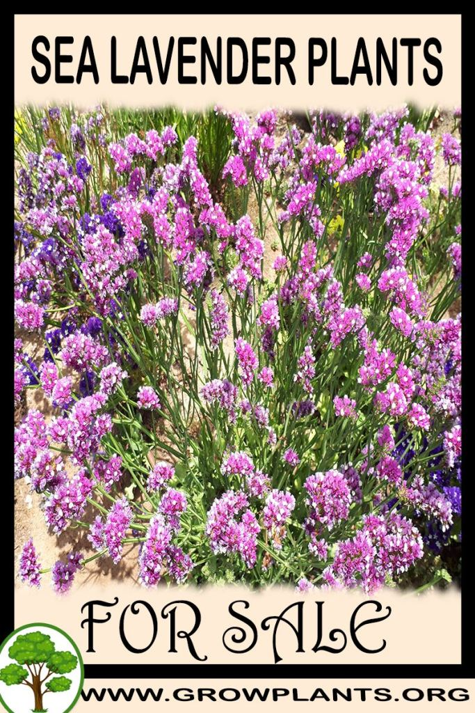 Sea lavender plants for sale