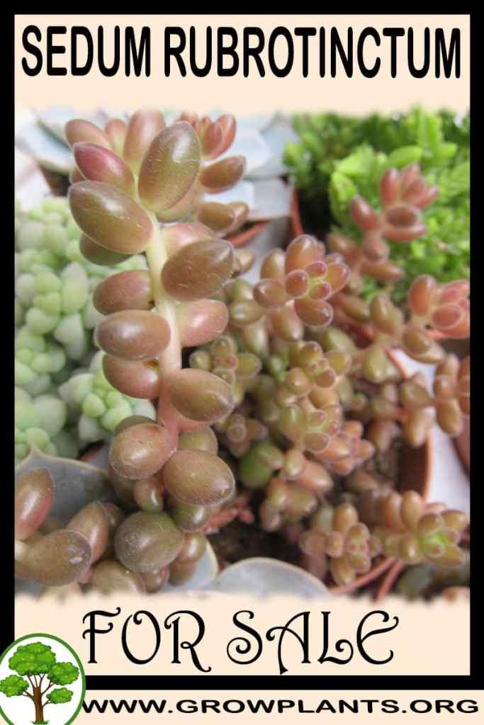 Sedum rubrotinctum for sale