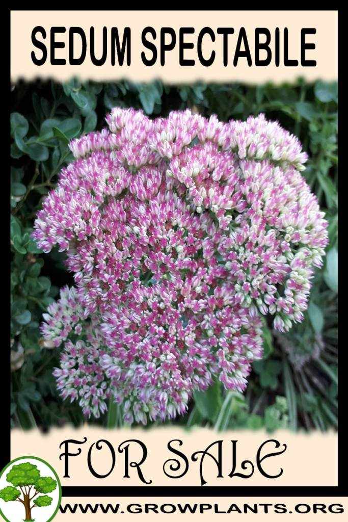 Sedum spectabile for sale