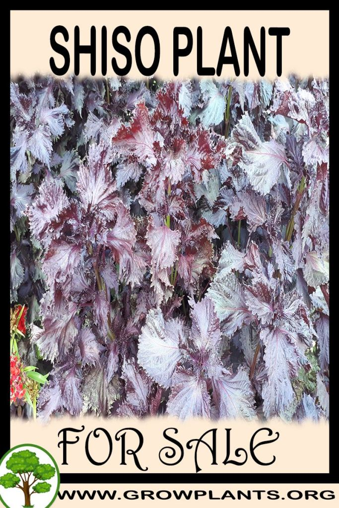 Shiso plant for sale