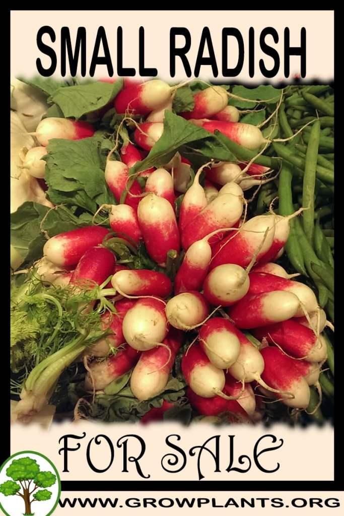 Small radish for sale