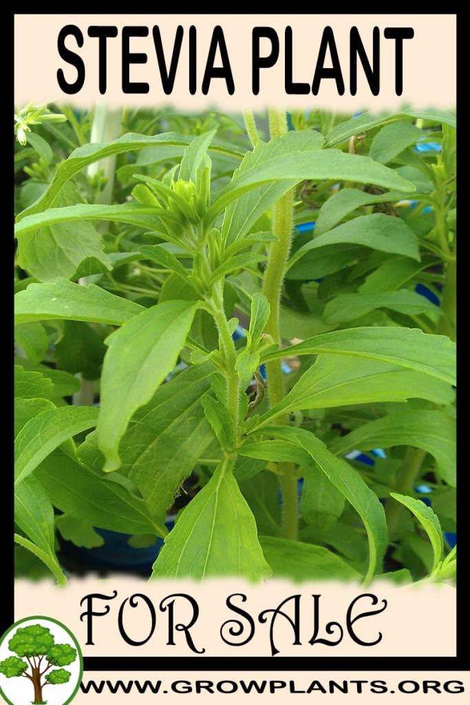 Stevia plant for sale