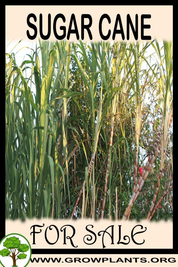 Sugar cane for sale