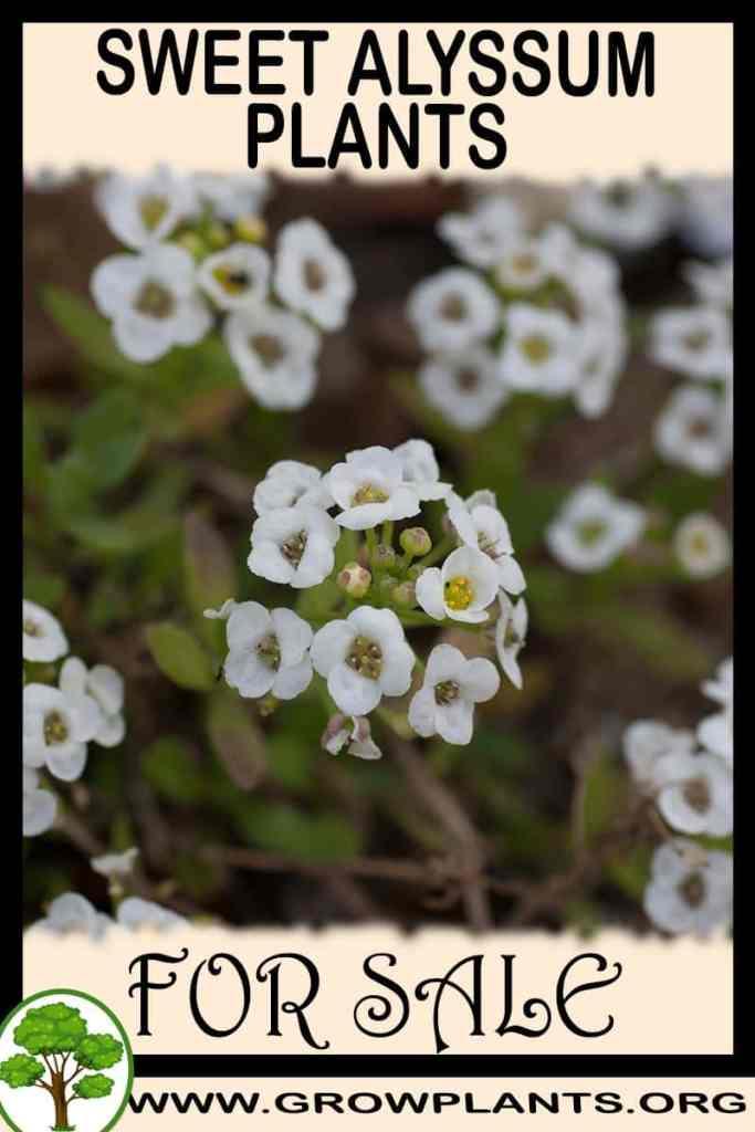 Sweet alyssum plants for sale