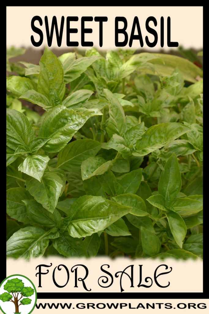 Sweet basil for sale