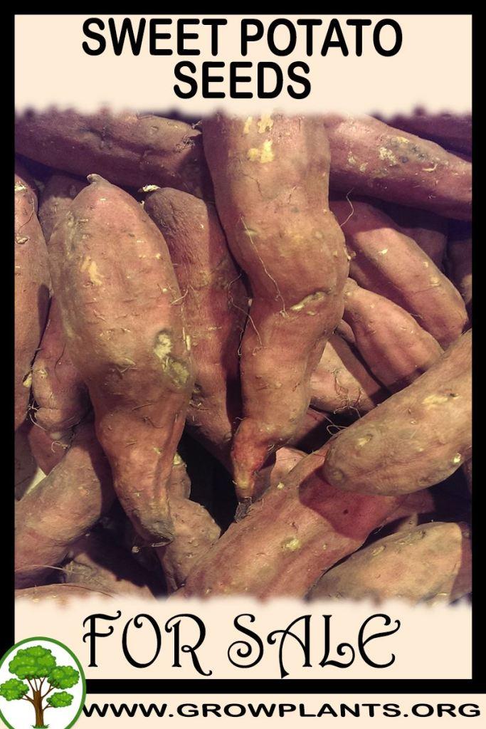 Sweet potato seeds for sale