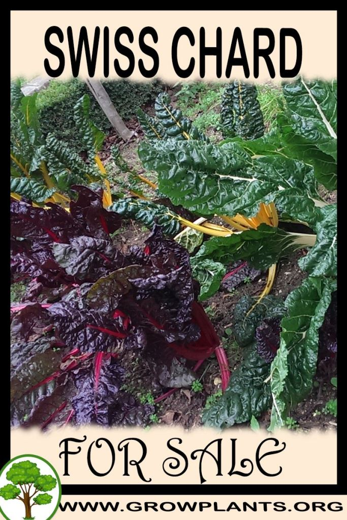 Swiss chard for sale