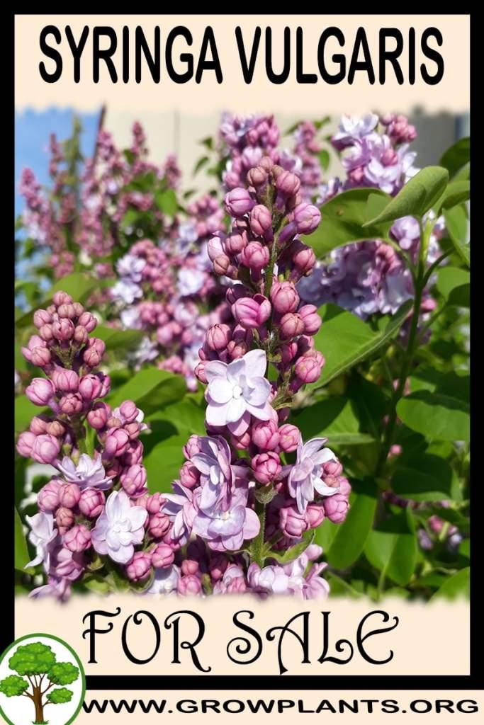 Syringa vulgaris for sale