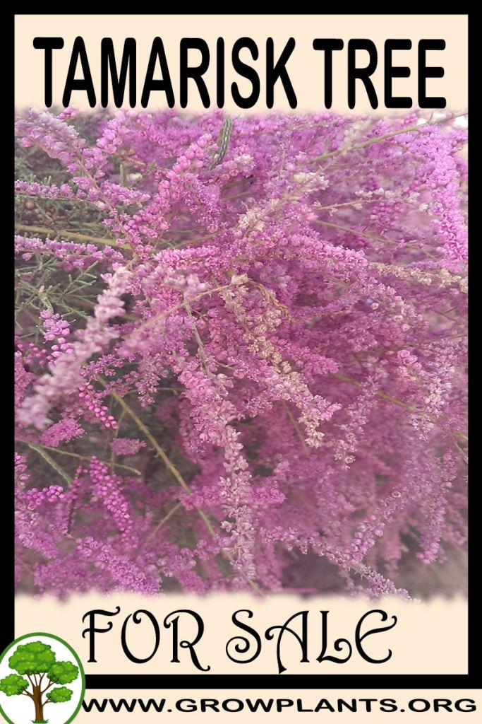 Tamarisk tree for sale