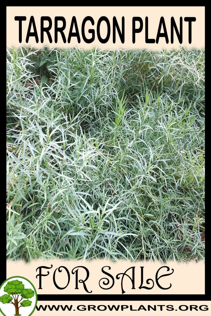Tarragon plant for sale