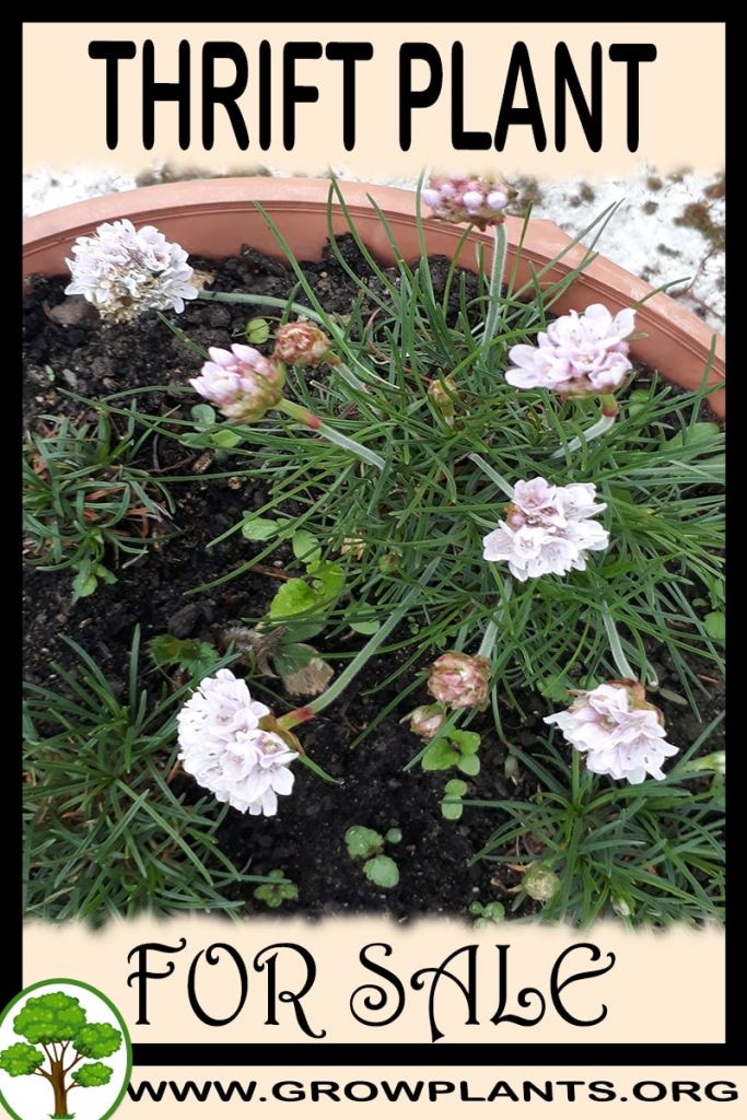 Thrift plant for sale