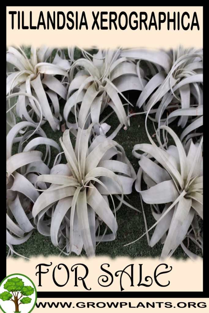Tillandsia Xerographica for sale