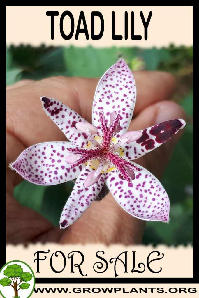 Toad lily for sale