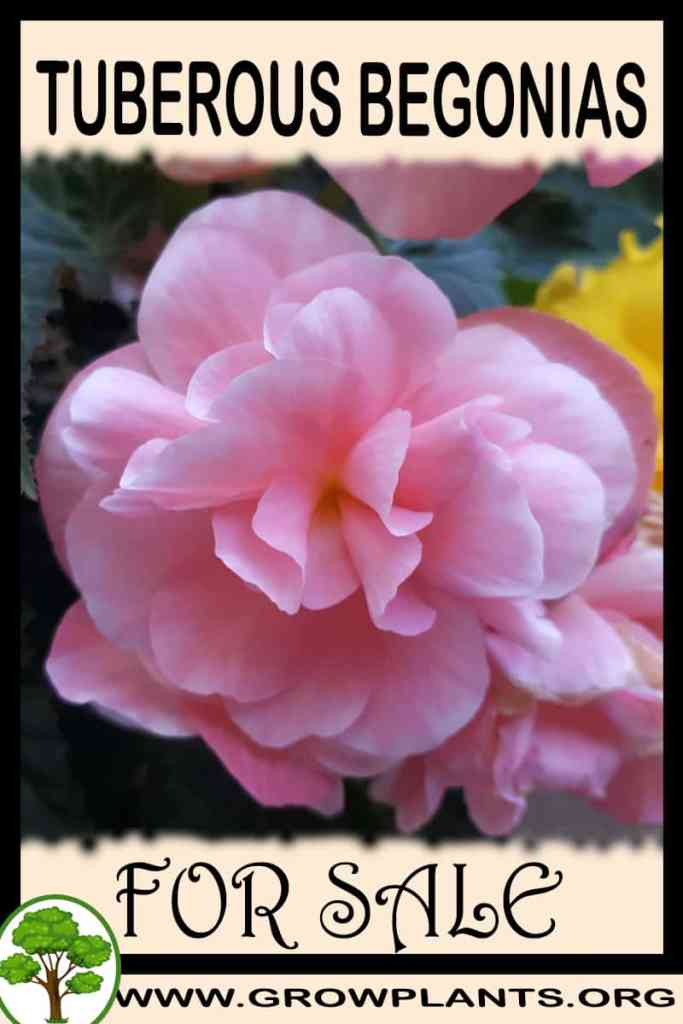Tuberous begonias for sale