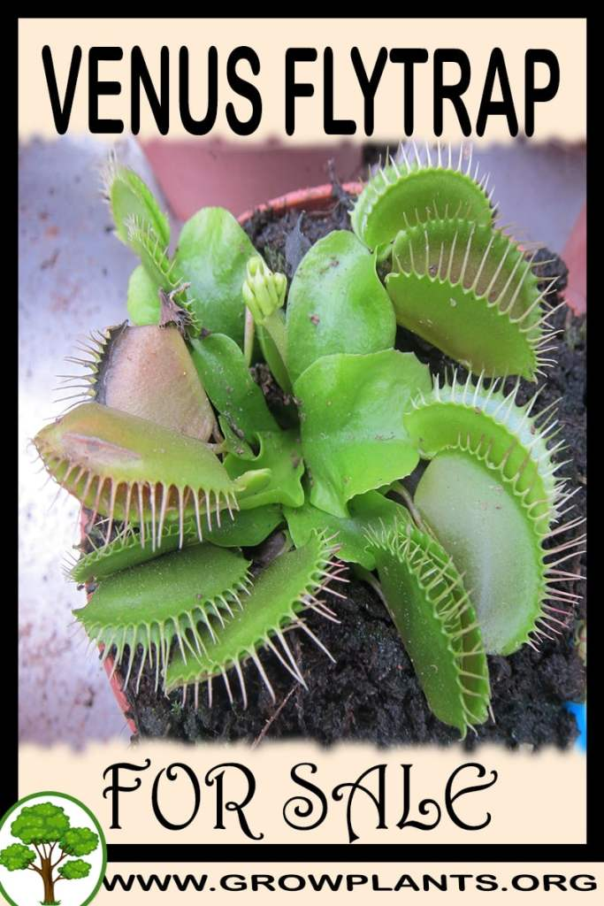 Venus flytrap for sale