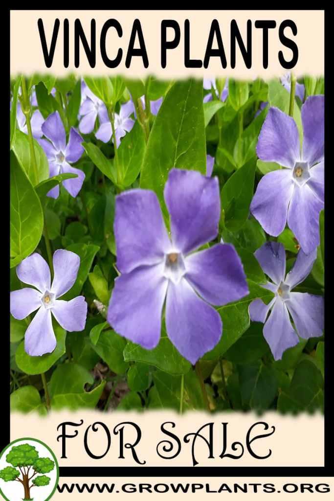 Vinca plants for sale