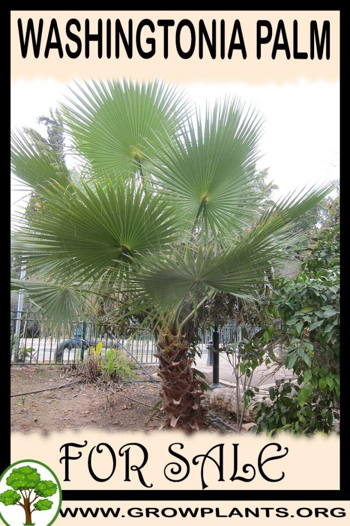 Washingtonia palm for sale