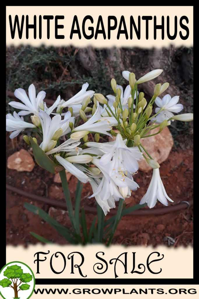 White agapanthus for sale