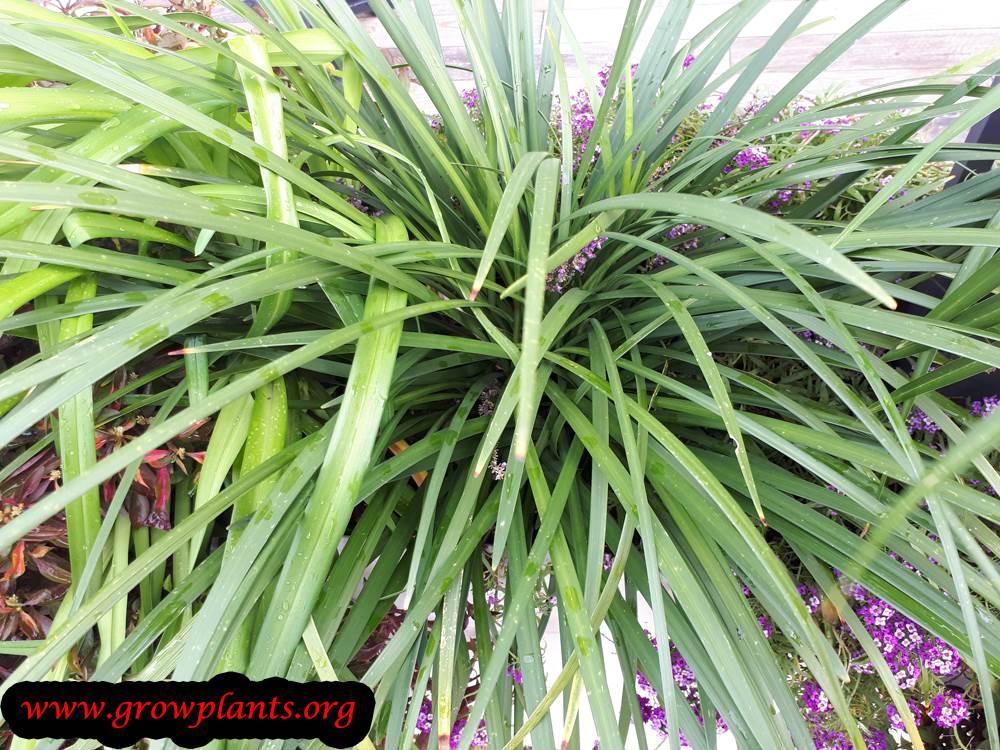 Liriope Muscari How To Grow Care