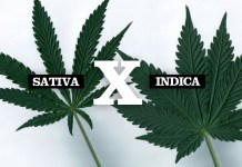 Cannabis Sativa vs. Cannabis Indica