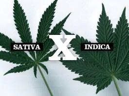 Cannabis Sativa vs. Cannabis Indica