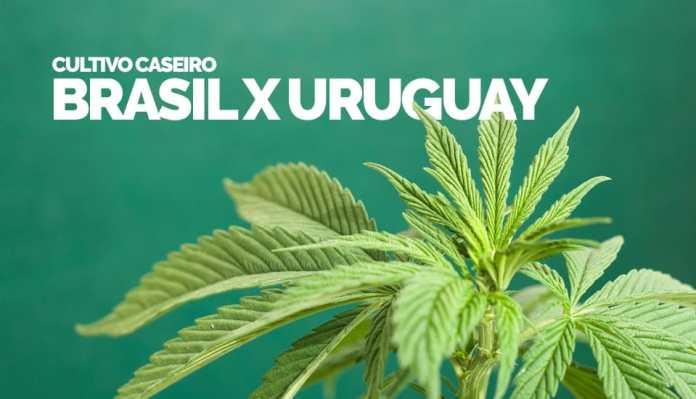 Cultivo caseiro de Cannabis no Uruguai