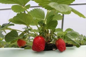hydroponic-berrys