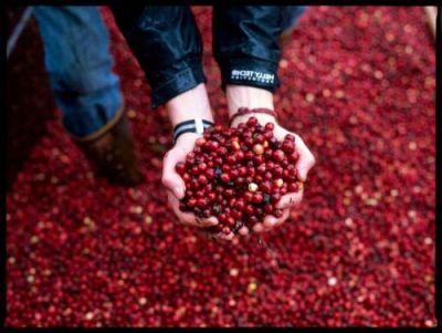 organic-farm-cranberries