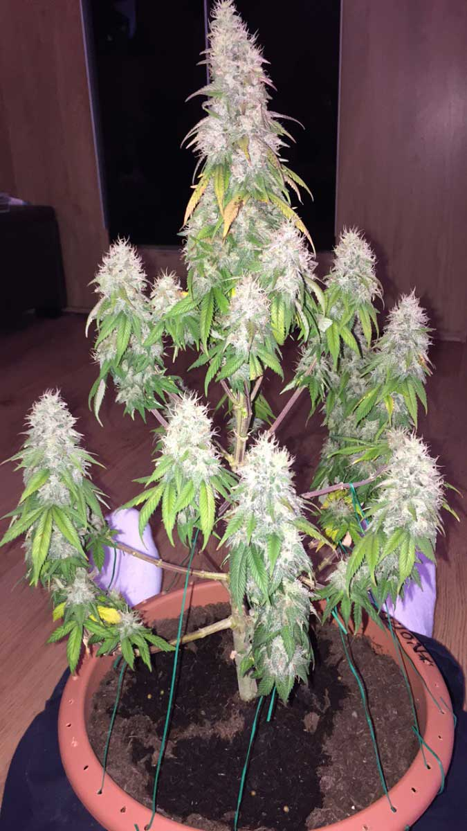 Grow Weed Easy  Learn How to Grow Cannabis