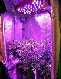 Growing Cannabis In A Grow Tent & Secret Window Into ...
